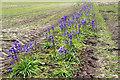 TF6633 : Bluebells, Paper Hall Farm, Snettisham, Norfolk by Christine Matthews