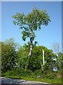 SD4678 : A big black poplar, Arnside by Karl and Ali