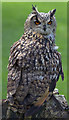 TF4323 : Eagle Owl, Long Sutton Falconry Centre, Lincolnshire by Christine Matthews