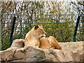 SD3335 : Lion at Blackpool Zoo by Gerald England
