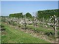 TR0059 : Apple Blossom - Brogdale Farm by Paul Gillett
