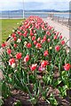 SY0080 : Tulip Display at Beach Gardens by Mike Smith