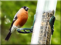 SD7406 : Bullfinch, Moses Gate Country Park by David Dixon