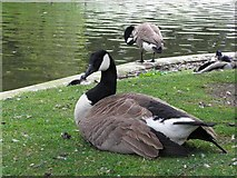 SK0573 : Canada Goose, Buxton by Kenneth  Allen