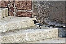 SJ3290 : A Cheeky Magpie, Promenade Steps, Seacombe by El Pollock