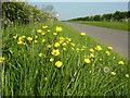 TF0282 : Roadside buttercups by Richard Croft