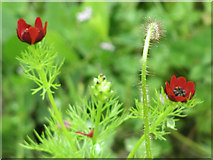 SP9314 : Pheasants Eye in Cornfield at College Lake by Chris Reynolds