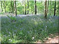 NX4349 : Bluebells in the forest by Bill Nicholls