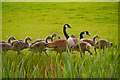 SD7807 : Canada Geese By The Canal by David Dixon
