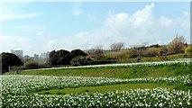 TQ3303 : White narcissi, East Brighton Park by nick macneill