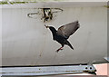 NY4861 : An unusual nest site at the Solway Aviation Museum by Walter Baxter