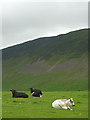SD6786 : Cattle in Barbondale by Karl and Ali