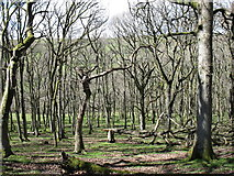 SN9769 : Middle Nant-serth Wood by David Purchase