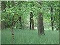 NS9532 : Woodland, Wiston Lodge by Richard Webb
