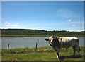 SD3283 : A bull by the Leven estuary by Karl and Ali