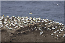 HP5917 : Gannets on Clingra Stack, Hermaness by Mike Pennington