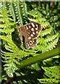 SY2393 : Speckled Wood, Heathhayne Hill by Derek Harper