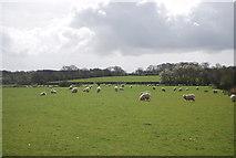 TQ8929 : Sheep grazing by N Chadwick