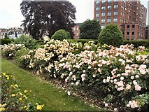 TQ3005 : Roses in Scented Garden by Paul Gillett