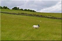 SK1973 : Sheep pasture near Longstone Moor Farm by Neil Theasby