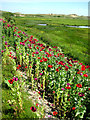 TF8545 : A surprising abundance of opium poppies by Zorba the Geek