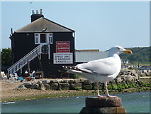 SZ1891 : Mudeford: the Black House and a white gull by Chris Downer