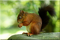 TQ3643 : The Squirrel With the Black Tail by Peter Trimming