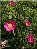 SX9066 : Roses, Barton Tip by Derek Harper