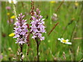 SK2895 : Carr House Meadows - Orchids by Dave Pickersgill