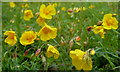 SK2073 : Rock rose - Helianthemum nummularium by Andrew Hill