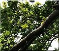 SJ9493 : Oak leaves by Gerald England