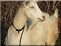 SW5930 : Lonely Goat by Raymond Cubberley