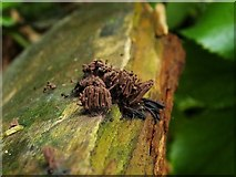 NS3977 : A slime mould - Stemonitis species by Lairich Rig