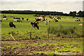 TF0524 : Elsthorpe cattle by Richard Croft