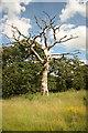 TF0320 : Dead tree in Grimsthorpe Park by Richard Croft