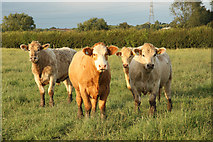 SK8159 : Curious cattle by Richard Croft