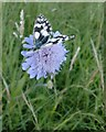 TQ1350 : Marbled White butterfly (Melanargia galathea), on scabious at Ranmore (1) by Stefan Czapski