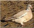SP9211 : Woodpigeon (Columba palumbus) by Rob Farrow
