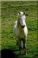 Q8558 : Loop Head Peninsula - Running White Horse by Joseph Mischyshyn