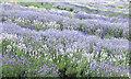 SE6670 : Swathes of lavender by Pauline E