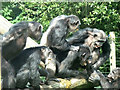SO9490 : Dudley Zoo - chimp fight by Chris Allen