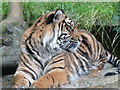 SO9490 : Dudley Zoo - tiger, tiger burning bright by Chris Allen
