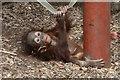 SO9490 : Dudley Zoo - baby orang utan by Chris Allen