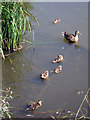 TQ8110 : Duck and ducklings at Alexandra Park by Oast House Archive