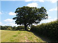 TL1339 : Oak tree by the John Bunyan Trail by Michael Trolove
