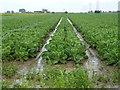 TF2819 : Growing greens near the sewage works by Richard Humphrey