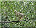 SK7192 : Buzzard watching over his patch by Steve  Fareham