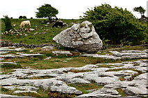 M2300 : The Burren - R480 - Cattle grazing near Poulnabrone Dolmen Site by Joseph Mischyshyn