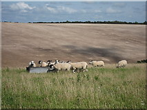 TQ3710 : Sheep at Balmer Down by Oast House Archive