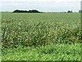 TF2412 : Bean field near Little Lodge Farm by Christine Johnstone